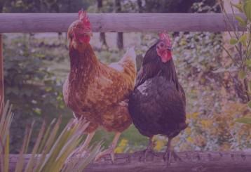 مزرعة دجاج صغيرة